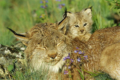 Canadian Lynx Photograph - A Mother Canadian Lynx Rests by Norbert Rosing