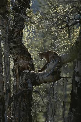 A Mountain Lion, Felis Concolor, Climbs Art Print by Jim And Jamie Dutcher