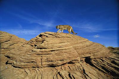 A Mountain Lions Walks Across This Art Print by Norbert Rosing