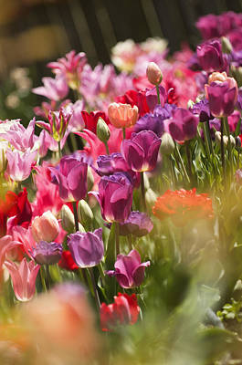 Rockville Photograph - A Multicolor Patch Of Blossoming Tulips by Maria Mosolova