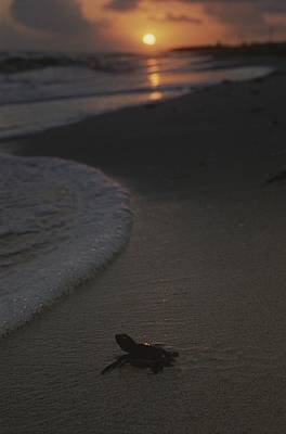 Green Sea Turtle Photograph - A Newly-hatched Green Sea Turtle Makes by Kenneth Garrett