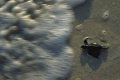 Green Sea Turtle Photograph - A Newly Hatched Green Turtle Marches by Kenneth Garrett