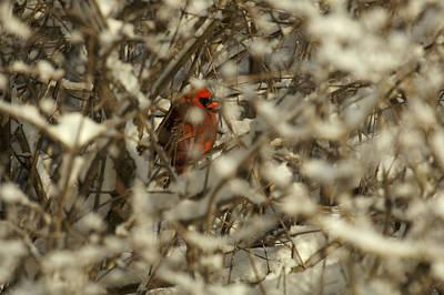 A Northern Cardinal Hiding In A Snow Art Print by Tim Laman