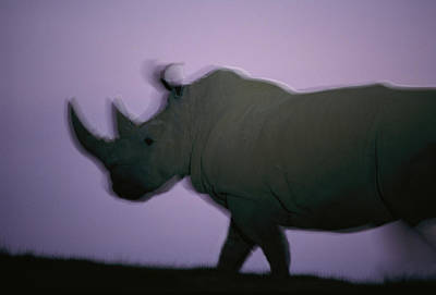 A Northern White Rhino At San Diego Art Print