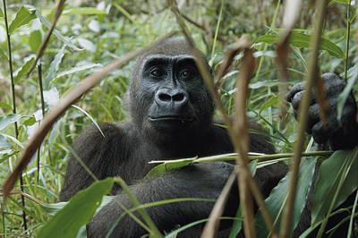 Gabon Photograph - A Once Capitve Gorilla Is Now by Michael Nichols
