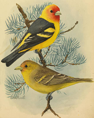 Western Tanager Photograph - A Painting Of A Male And Female Western by Louis Agassi Fuertes