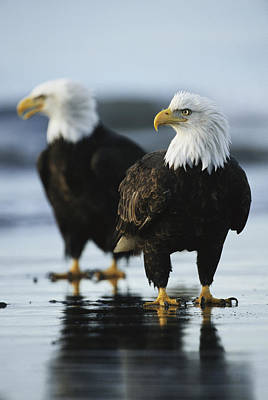 A Pair Of American Bald Eagles Stand Art Print by Klaus Nigge