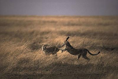 A Pair Of Cheetahs Acinonyx Jubatus Art Print