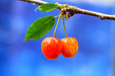 Y120817 Photograph - A Pair Of Cherries Riperning On A Tree In Summer by Martial Colomb