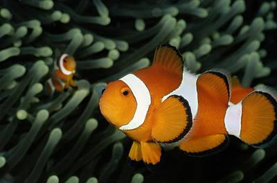 Amphiprion Ocellaris Photograph - A Pair Of False Clown Anemonefish by Wolcott Henry
