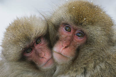 A Pair Of Japanese Macaques, Or Snow Art Print by Tim Laman