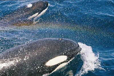 A Pair Of Killer Whales Swimming Art Print