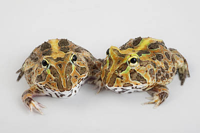Captive Images Photograph - A Pair Of Vulnerable Pacific Horned by Joel Sartore