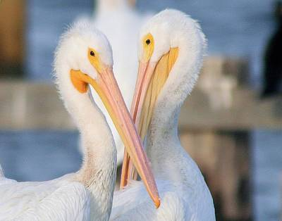 Photograph - A Pair Of White Pelicans by Ira Runyan