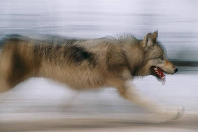 A Panned Shot Of A Gray Wolf, Canis Art Print