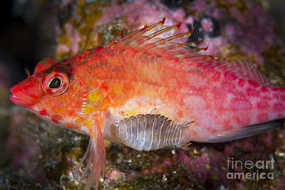 Colorful Tropical Fish Photograph - A Parasitic Isopod Has Attached Itself by Todd Winner