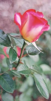 Photograph - A Perfect Rose by Lynnette Johns