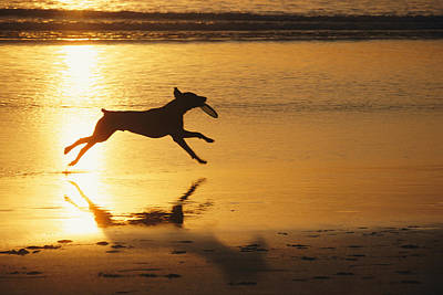 Natural Forces Photograph - A Pet Dog Runs With A Frisbee by Bill Curtsinger