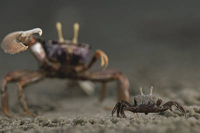 Gabon Photograph - A Pincer Claw Of A Full-size Ghost Crab by Michael Nichols