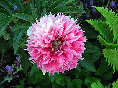 Photograph - A Pink Peony by Chris Anderson