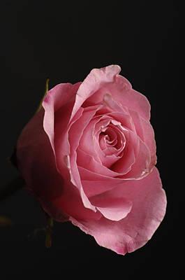 Rosaceae Photograph - A Pink Rose Rosaceae by Joel Sartore