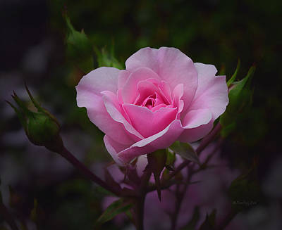 Photograph - A Pink Rose by Xueling Zou