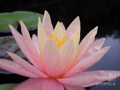 A Pink Water Lily Art Print by Chad and Stacey Hall