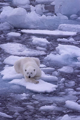 A Polar Bear Drifts On Floating Ice Art Print by Gordon Wiltsie