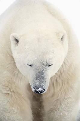 Winter Animals - A Polar Bear Ursus Maritimus Resting by Richard Wear