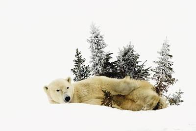 A Polar Bear Ursus Maritimus Art Print by Richard Wear