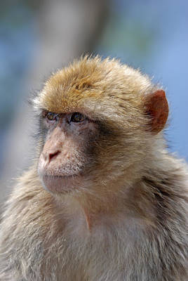 A Portait Of A Monkey In Gibraltar Art Print
