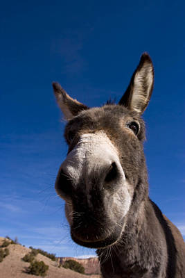A Portrait Of A Burro In New Mexico Art Print