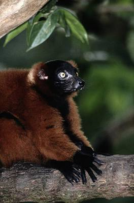 Red-ruffed Lemur Photograph - A Portrait Of A Captive Red-ruffed by Tim Laman