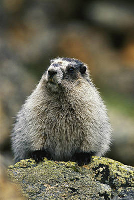A Portrait Of A Hoary Marmot Sitting Art Print by Michael S. Quinton