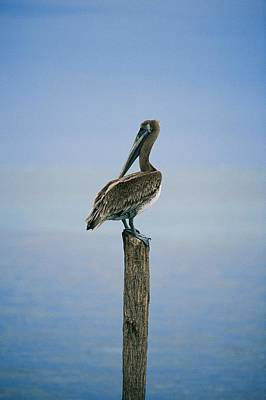 Docks Etc Photograph - A Portrait Of A Pelican Perched by Skip Brown