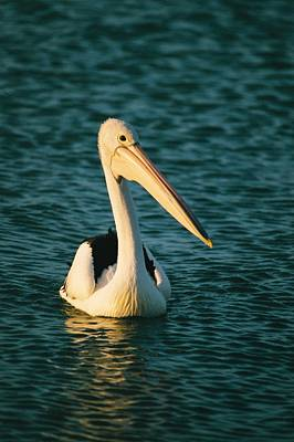 Monkey Mia Photograph - A Portrait Of A Pelican Swimming by Bill Ellzey
