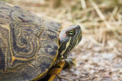Tortoise Photograph - A Portrait Of Reptiles In Texas - Tortoise by Ellie Teramoto