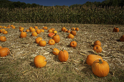 A Pumpkin Patch With A Corn Field Print by Tim Laman