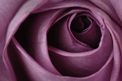 Rosaceae Photograph - A Purple Rose Rosaceae by Joel Sartore