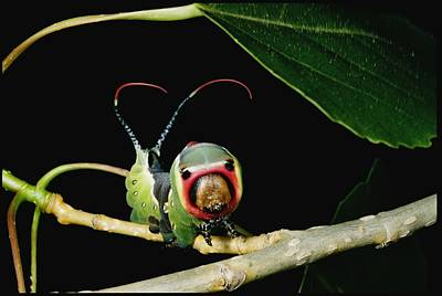 Puss Caterpillar Photograph - A Puss Moth Caterpillar Cerura Vinula by Darlyne A. Murawski