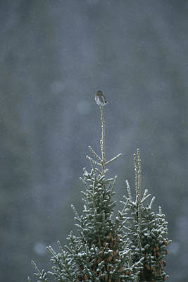 Pygmy Owl Wall Art - Photograph - A Pygmy Owl Perched In The Top Of An by Tom Murphy