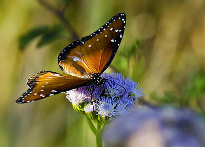 Queen Butterfly Photograph - A Queen Butterfly  by Saija  Lehtonen