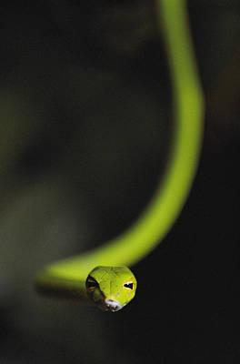 Danum Valley Conservation Area Photograph - A Rain Forest Whip Snake by Mattias Klum