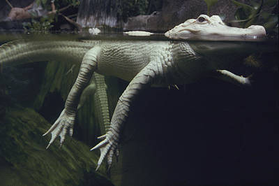 A Rare White Alligator In The Louisiana Print by Michael Nichols