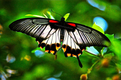 Photograph - A Real Beauty Butterfly by Peggy Franz
