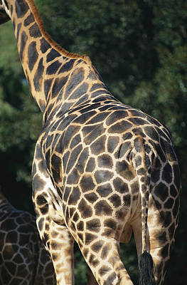 Perth Zoo Photograph - A Rear View Of A Rothschild Giraffe by Nick Caloyianis