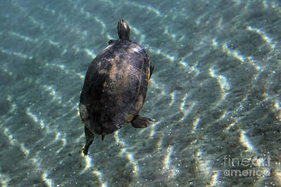 Cooter Photograph - A Red-bellied Cooter Turtle Swims by Terry Moore