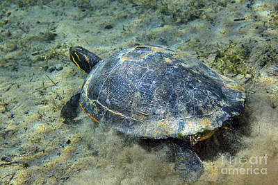 Cooter Photograph - A Red-bellied Cooter Turtle by Terry Moore