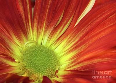 Photograph - A Red Daisy by Sabrina L Ryan