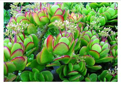 Photograph - A Red Edge Succulent by Frank Wickham